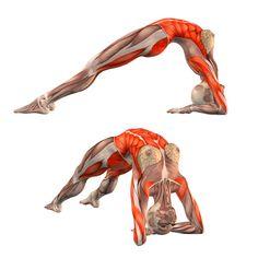 Bridge pose on elbows - Dvapada Dhanurasana - Yoga Poses | YOGA.com