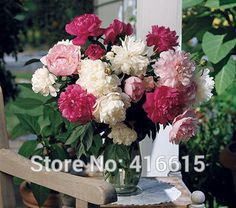 Herbaceous Peony Seeds Old-time Peony Collection Seeds Mixed Color Peony Flower Seeds For Bonsai Perennial Garden Plant Seeds