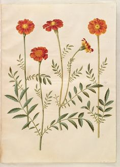 Gottorfer Codex, vol. 3, gouache on parchment by Hans Simon Holtzbecker, Tagetes patula, KKSgb2949/51 - Statens Museum for Kunst, National Gallery of Denmark