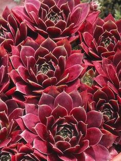 hens and chicks, are ornamental succulents that will tolerate shade and sun...