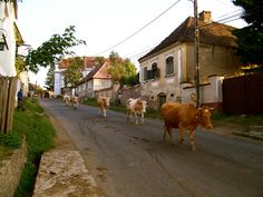 The daily cow parade in Transylvania: At 8pm every evening in Miclosoara, the cows come home from their pastures surrounding this village in Transylvania. They amble along the road in single file and each cow turns off the road leading through the village and enters the yard belonging to her owner. Amazingly, the cows know where they live. Villagers and visitors to Count Tibor Kalnoky's guest house gather to watch this gentle performance.