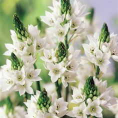 Chincherinchee Flower | Come see what else there is to discover...