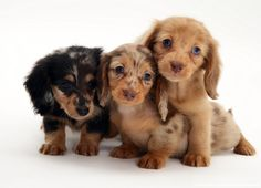 Image detail for -Dachshund pups