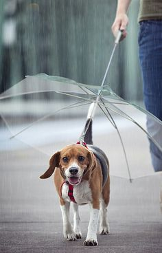 Clear Dog Umbrella