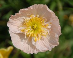 Very pale pink poppy with gold and white center