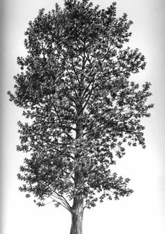 Quercus robur (roble, carbayu en asturiano, carvallo) de Pepe Garcia.