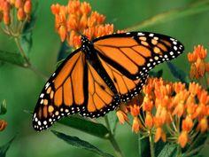 La organización WWF informó que la tala ilegal en el santuario de la mariposa ha disminuido, pero los herbicidas siguen menguando su población -este 2014, hasta en un 40%-