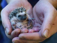 African Pygmy Hedgehog, 3 weeks old