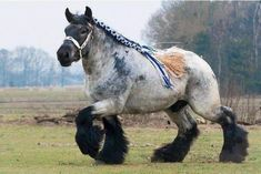 "harvestheart: "" The Ardennes Draft Horse is considered one of the oldest breeds of draft horse, and is believed to be a direct descendent of the prehistoric Solutre Horse. Via Historical Pictures """