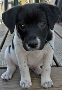 Rat Terrier Lab Mix! I LOVE Rat Terriers, Plus I love labs so this lil'man is perfect. :)