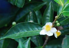 Camellia sinensis Edible flowers