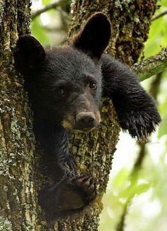 Cutest little black bear cub ♡♡♡