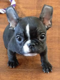 french bulldog puppies for sale wales | Zoe Fans Blog