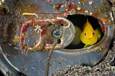 natgeoPhoto by @BrianSkerry.  A surprised Yellow Gobi welcomes us into his makeshift home – an abandoned soda can - on the volcanic sandy bottom of Suruga Bay, off the coast of Japan.