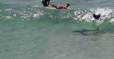 Ach, du Schreck! Hai schwimmt lässig unter Surfern #News #Unterhaltung