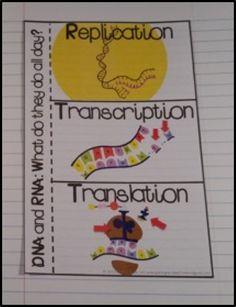 DNA Replication, Transcription, and Translation