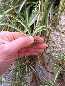 bouture de chlorophytum, une bouture très facile à réaliser en maternelle avec les enfants. le jardinage facile et amusant avec caboucadin site pour enfant.