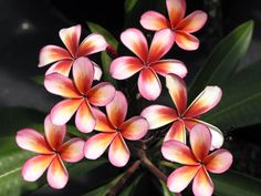 Where to Buy the Best Plumeria Cuttings with great tips on how to grow. (Wow these are beautiful!)