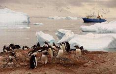 Casi todas las especies de pingüinos habitan en la Antártida, excepto los pingüinos Galápagos.