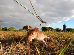 "Mozambique has ""Kitten-Sized"" Rats Trained to Sniff Out Tuberculosis 