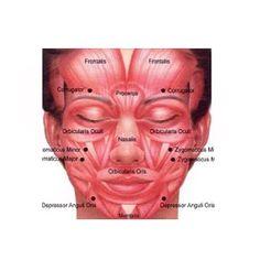 #Anatomia #facial by dra.marialucchesi