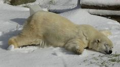 """And this is why polar bears shouldn't be kept in zoos :( .""""The polar bear enjoying her birthday snow.For Pike's birthday, the San Francisco Zoo brought in some snow. Her face says it all"""" Web Foto, Animal Pictures, Funny Pictures, Funny Images, San Francisco Zoo, San Diego, Funny Animals, Cute Animals, Animal Tracks"""