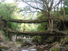 living root bridges.
