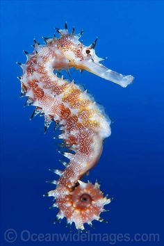 License high quality Stock Photo or order Print of Thorny Seahorse Hippocampus histrix. Underwater Creatures, Underwater Life, Ocean Creatures, Beautiful Sea Creatures, Animals Beautiful, Seahorse Image, Water Animals, Sea Dragon, Marine Fish