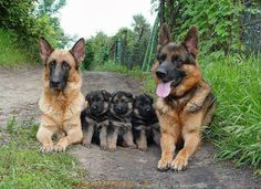 german shepherd family #germanshepherd #gsd #just4gsd
