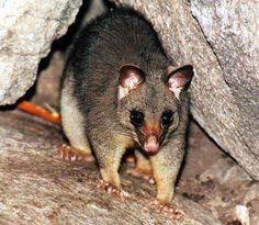 This is the Australian version of the possum, it looks very different from an American possum.  Australian brush-tailed possums like these are nocturnal, they make good pets if you raise them from the time they're young, and they're great animals - in Australia.