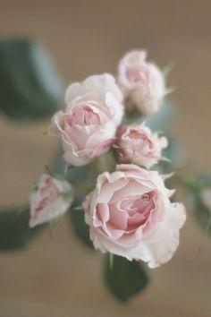 Fleur pour un bouquet de mariée, Rose English miss. Ces petites roses anglaises branchues sentent divinement bon, elles apportent au bouquet une touche romantique mais elles restent simples et délicates.