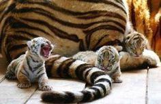 Tiger cubs.