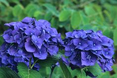 compact hydrangea - shrub light shade - mophead merritt's beauty