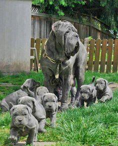 Neopolitan mastiff mama and babies