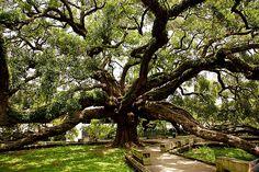 The Treaty Oak. The oldest tree In Jacksonville.