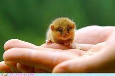 Dormouse...so tiny :)