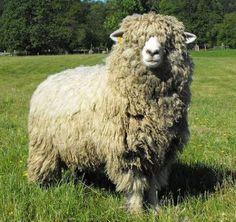 Schafe ∙ Wolle ∙ Filz ∙ und ∙ mehr ∙ ∙ ∙cornwall Longwool sheep