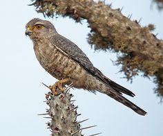 Banded Kestrel Falco zoniventris