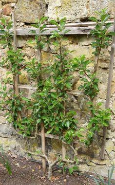 Die wärmeliebenden Birnen werden gerne als Spalierbäume an der Hauswand gezogen…