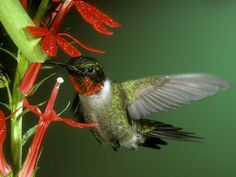 hummingbird. - Buscar con Google