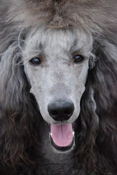 """Receive fantastic recommendations on """"poodle pups"""". They are accessible for you on our web site. Poodle Grooming, Dog Grooming, Silver Poodle, Grey Poodle, Poodle Hair, Poodle Cuts, Beautiful Dogs, Best Dogs, Dog Breeds"""
