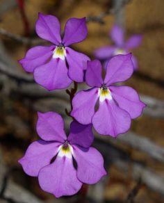 Isotoma hypocraterformis Western Australian wildflowers RobDavis8181 Australian Wildflowers, Wild Flowers, Plants, Wildflowers, Plant, Planets