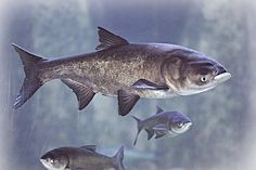 Asian carp could become the most common fish in Lake Erie if the ravenous invaders develop a breeding population there, while popular sport species including walleye and rainbow trout likely would decline, scientists said Monday. Aquariums, Grands Lacs, Rowing Team, Giant Fish, Shedd Aquarium, Discus Fish, Blue Tattoo, Rainbow Trout, Lake Erie