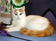 43cd7ee794acdb Turkish Van -All white with colored marks on head and tail. Vocal