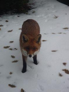 The Beautiful Mr Fox, West Sussex, England Copyright: Helen Kent