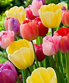 Tulipani Pastello