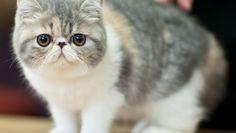 Exótico Raça de gatos O gato exótico é uma raça de gato que possui a aparência do gato persa, mas com os pelos curtos