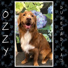 Ozzy, pretty Nova scotia duck tolling retriever boy♥️ Nova Scotia Duck Tolling Retriever, Grooming Salon, Diva, Bunny, Cats, Pretty, Pictures, Animals, Photos