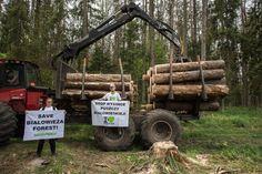 Activistas se encadenan en defensa de uno de los últimos bosques vírgenes de Europa - VeoVerde
