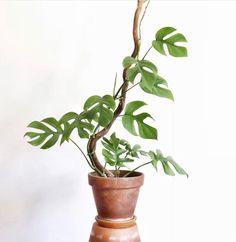 "Rhaphidophora tetrasperma ""mini monstera"" Native to southern Thailand and Malaysia tattoo house plants Balcony Plants, House Plants Decor, Plant Decor, Garden Plants, Leafy Plants, Indoor Water Garden, Indoor Plants, Cactus Plante, Plant Aesthetic"